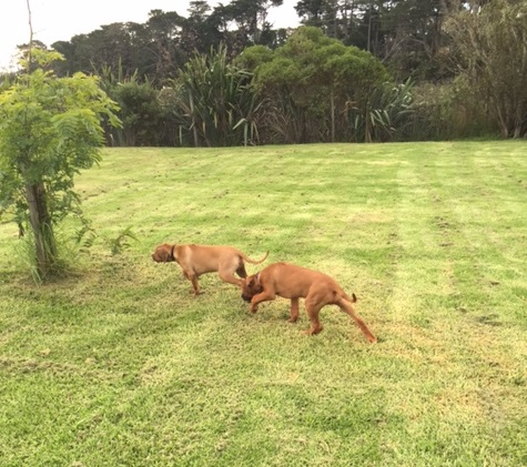 rhodesian puppies getting exercise before flight to uk